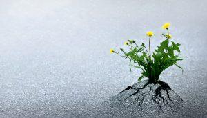 dandelion growing up through asphalt